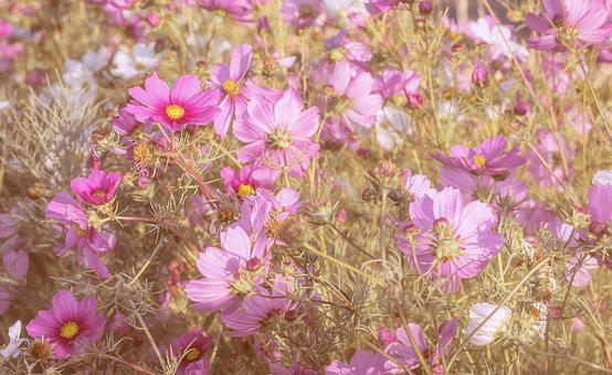 Cosmos flower images pixabay download free pictures cosmea flowers bloom nature mightylinksfo