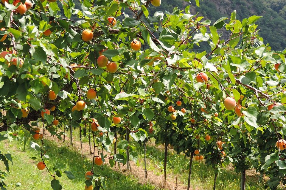 Wachau, Morele, Owoce, Gospodarstwo Rolne, Plantacja