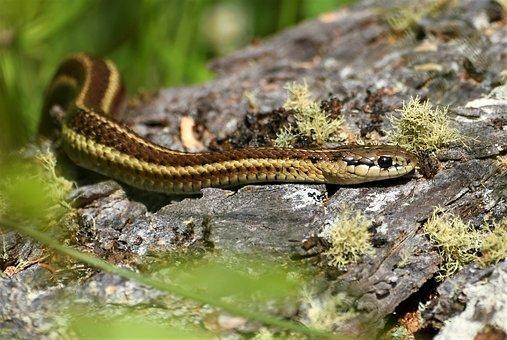Garter Snake, Forest, Macro, Crawl