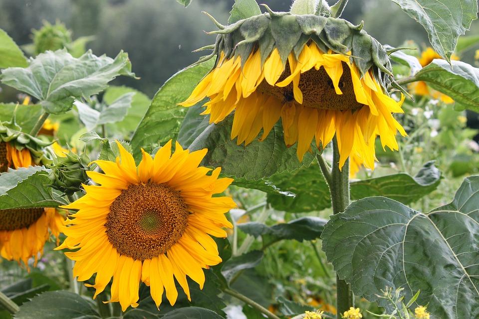 Sunflower Wild Yellow Free Photo On Pixabay