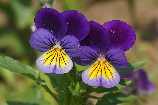 Pansies Images Pixabay Download Free Pictures