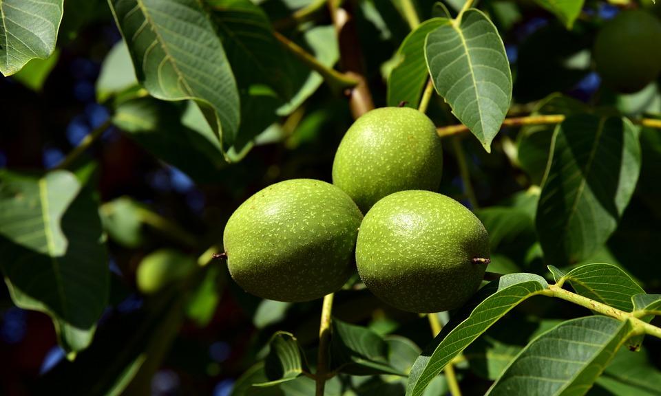 Walnuts Walnut Tree - Free photo on Pixabay
