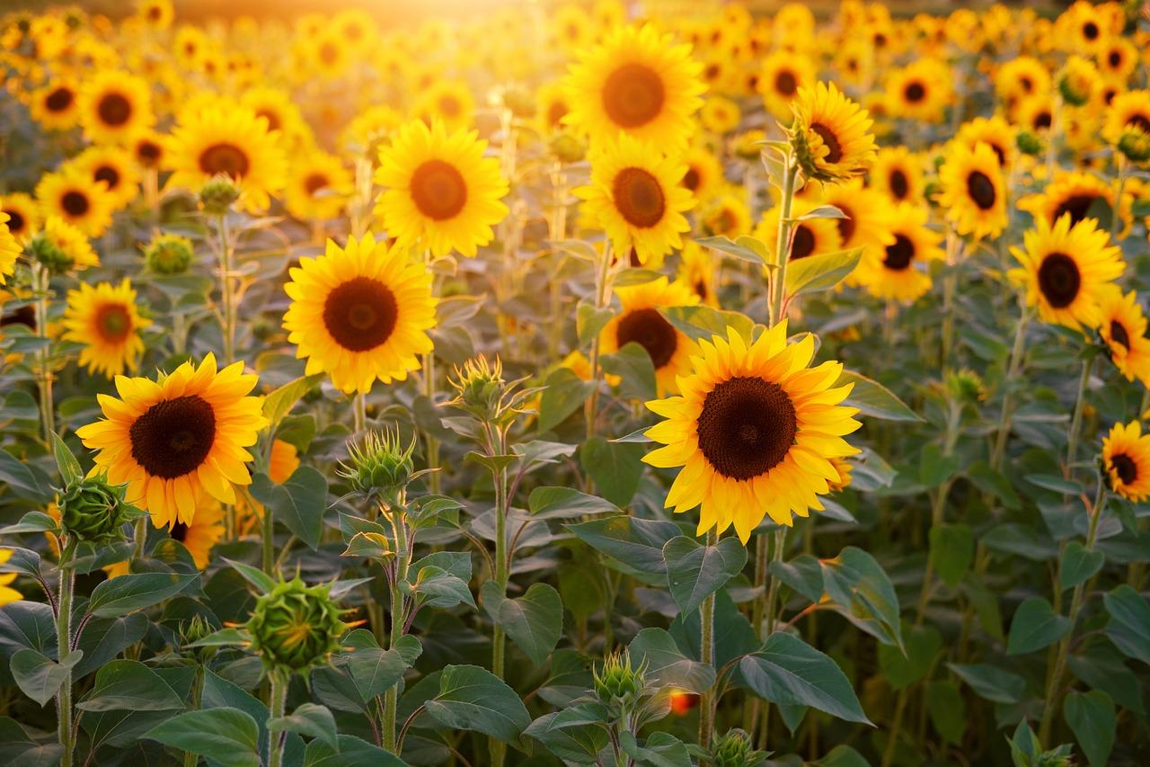 Auringonkukka, Auringonkukka Kenttä, Kukat, Kesä