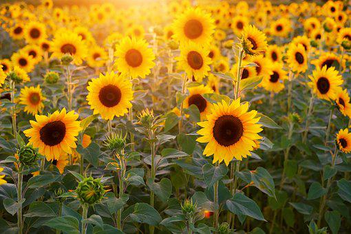 picture about Printable Pictures of Sunflowers known as 6,000+ Sunflower Shots Illustrations or photos [High definition] - Pixabay - Pixabay