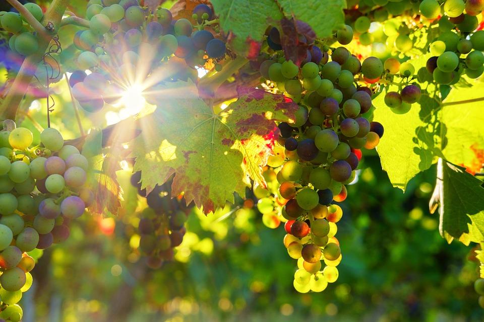 Trauben, Weintrauben, Sonne, Sonnenstrahlen, Frucht