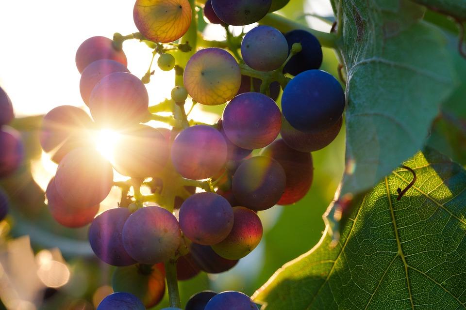 Raisins, Soleil, Rayon De Soleil, Fruits, Vignes
