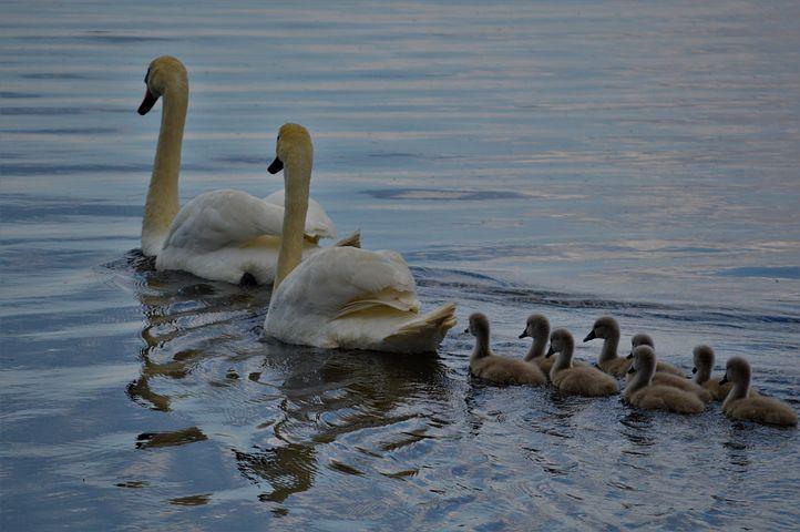 Семья лебедей картинки для