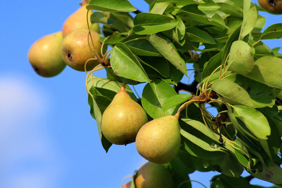 Pears, Wild Pear, Fruit, Maturation, Summer, Nature