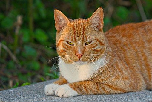 猫, ネコ, トムCat, 虎猫, 動物, 哺乳動物, 赤, ジンジャー, ひげ
