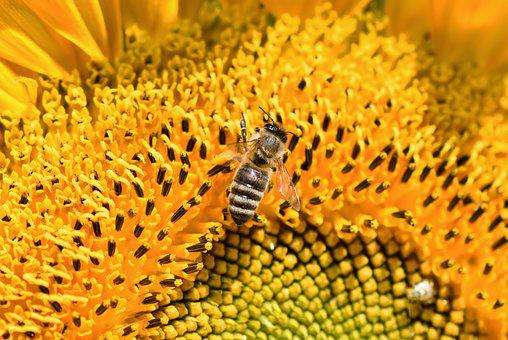 Sunflower, Bee, Honey Bee, Flower