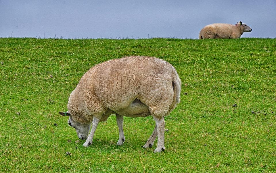 羊 アーメラント島 島 · Pixabay...