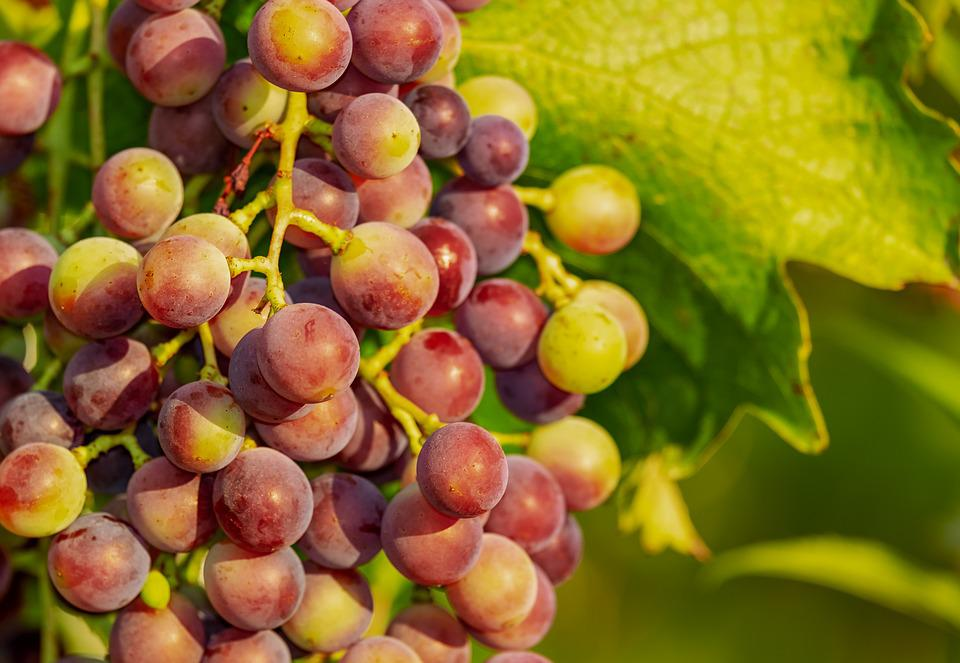 Grapes, Grape, Vine, Red Grapes, Winegrowing, Fruit