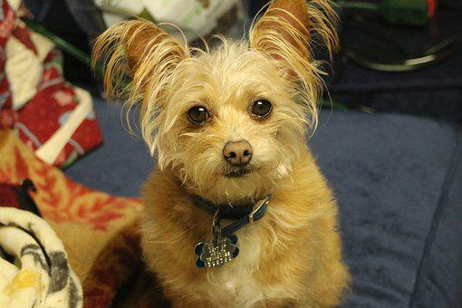 Dog, Yorkshire Terrier, Chihuahua