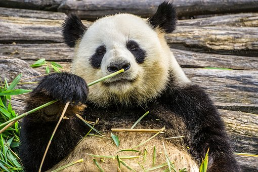 パンダ, パンダのクマ, 動物, 動物園, 竹, 自然, 草食動物, 白黒