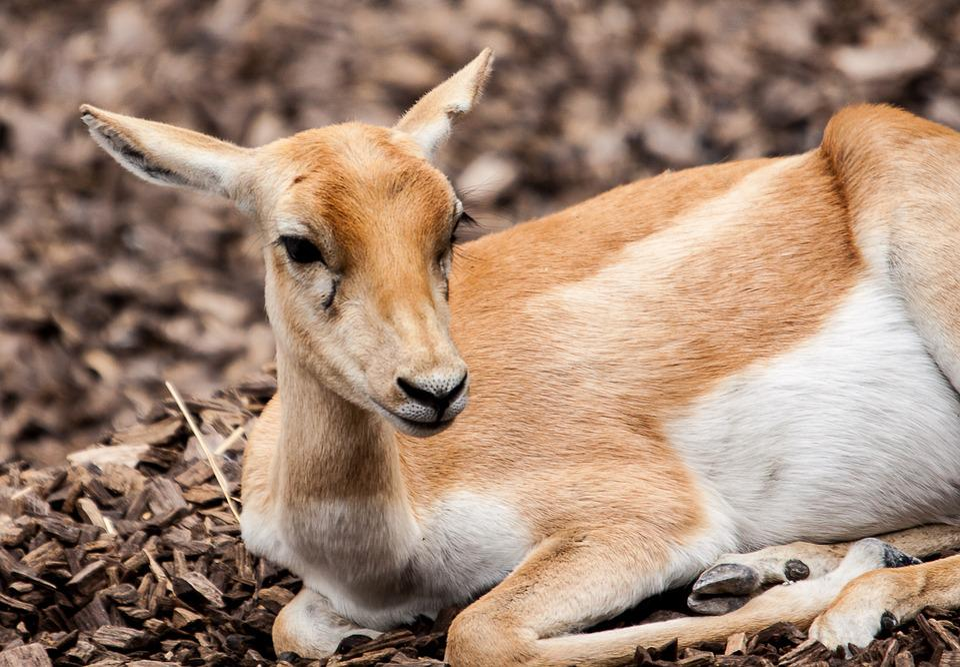 85 Koleksi Gambar Binatang Rusa Dan Kijang Gratis Terbaru