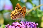 butterfly, large fritillary, color