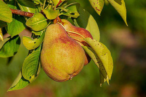 Pear, Immature, Fruit, Growth