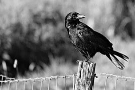 Crow, Bird, Raven, Blackbird