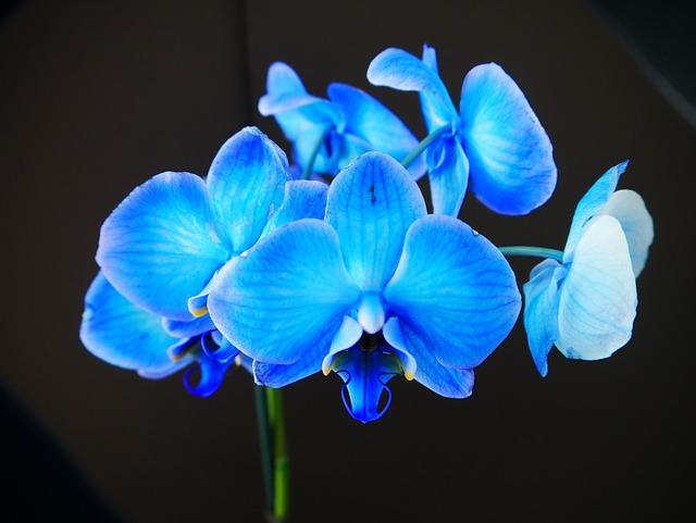 Орхидея голубая картинки