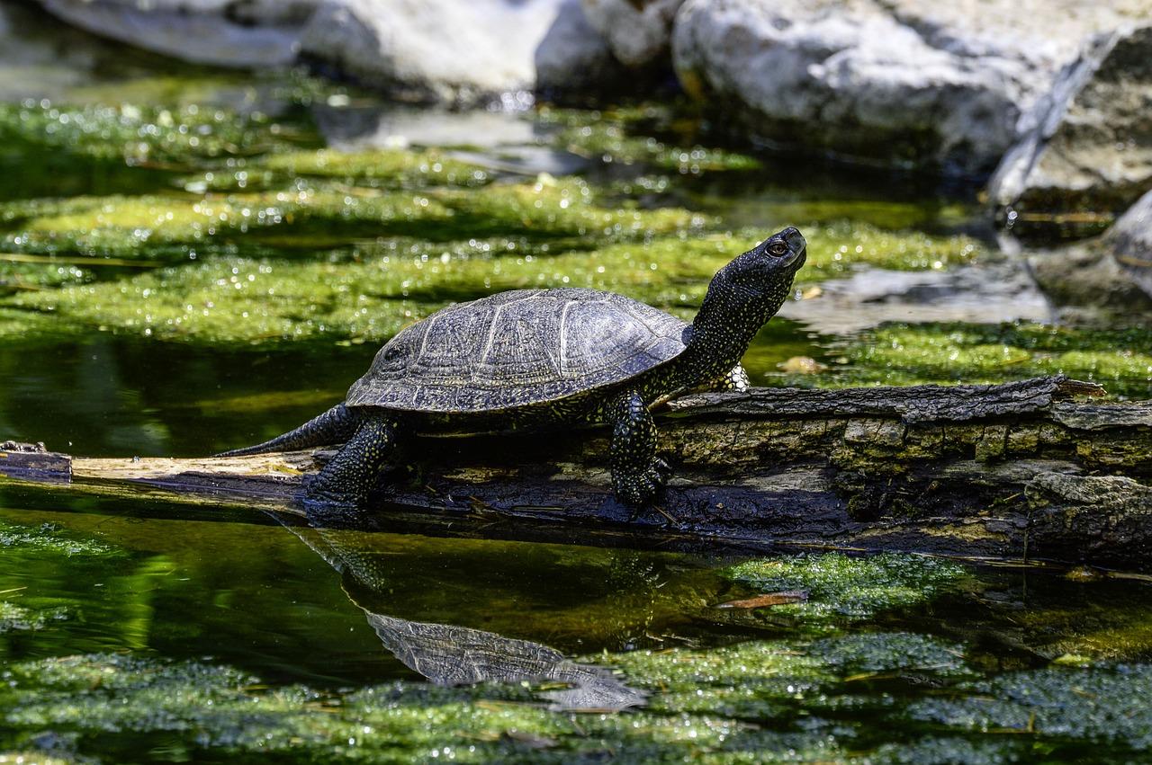 Картинки болотной черепахи