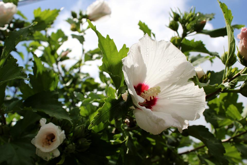 Rose Of Sharon, Flower, Blossom, Hibiscus, White