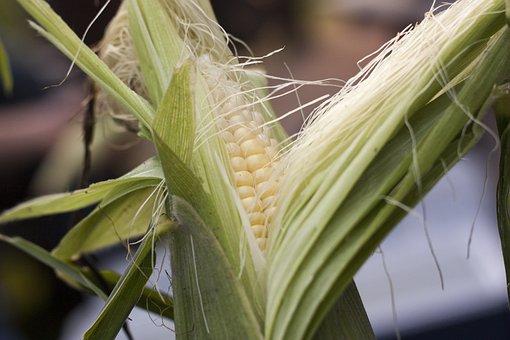 Sweetcorn, Summer, Corn, Maize, Cob