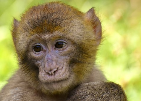Monkey images pixabay download free pictures barbary ape monkey mammal animals voltagebd Image collections