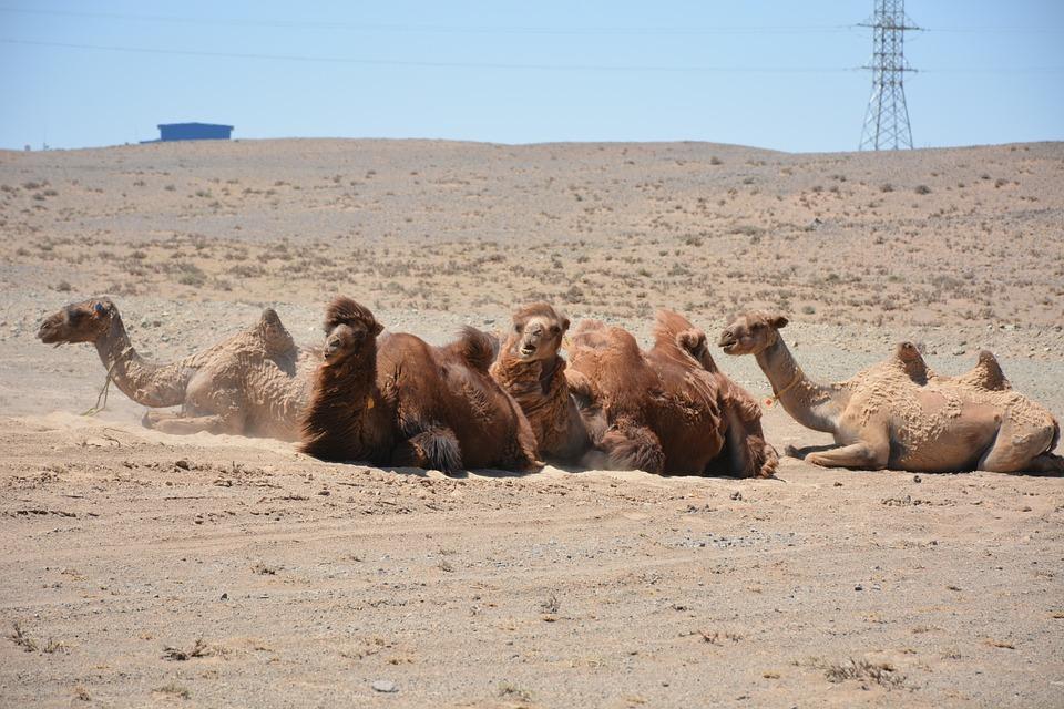 Camel, Gobi, Mongolia, Desierto