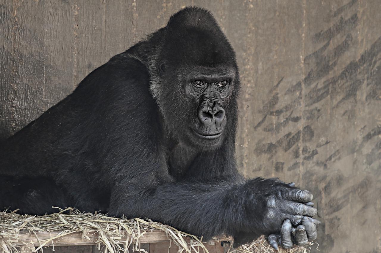 Famous Male Gorilla
