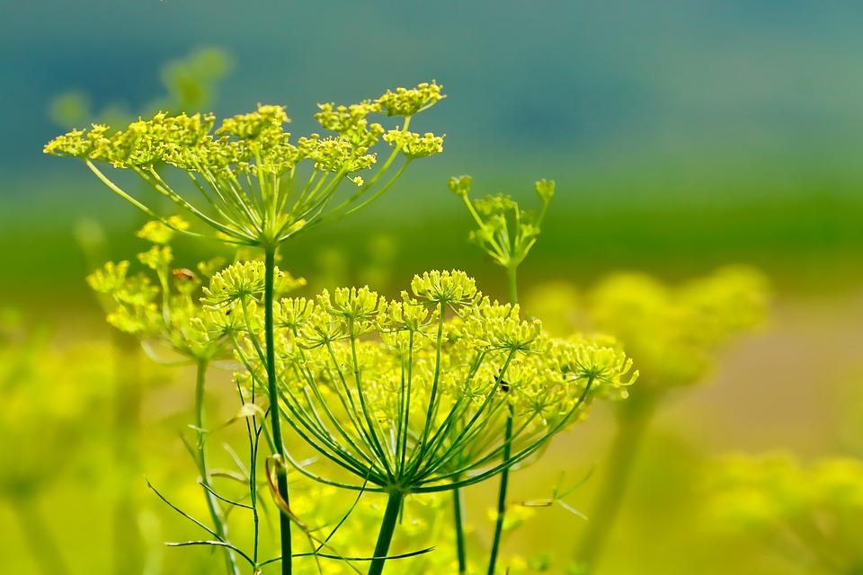 Nature, Fennel, Summer, Flowers, Fennel Flowers, Plant