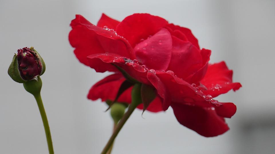 Rose Rote Farbe Blute Kostenloses Foto Auf Pixabay