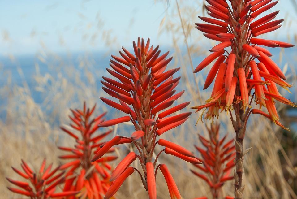 Fiori, Aloe, Piante, Rosso-Arancio, Tropical