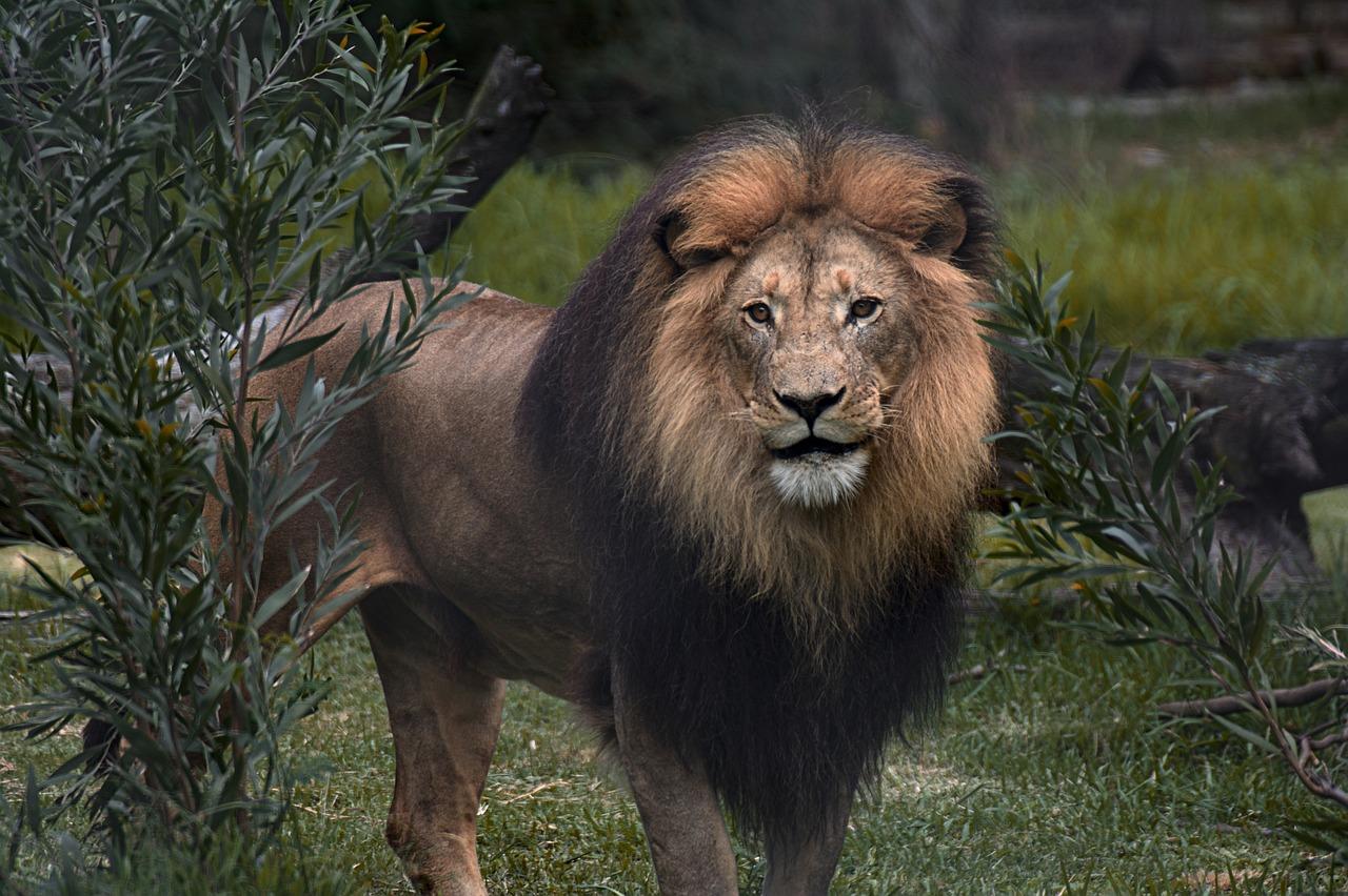 Картинки сафари лев