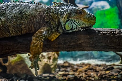 Green Iguana, Iguana Iguana, Reptile