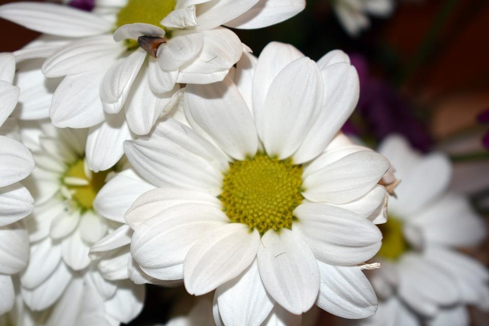 Chrysanthemum white flower free photo on pixabay chrysanthemum white flower macro nature beautiful mightylinksfo
