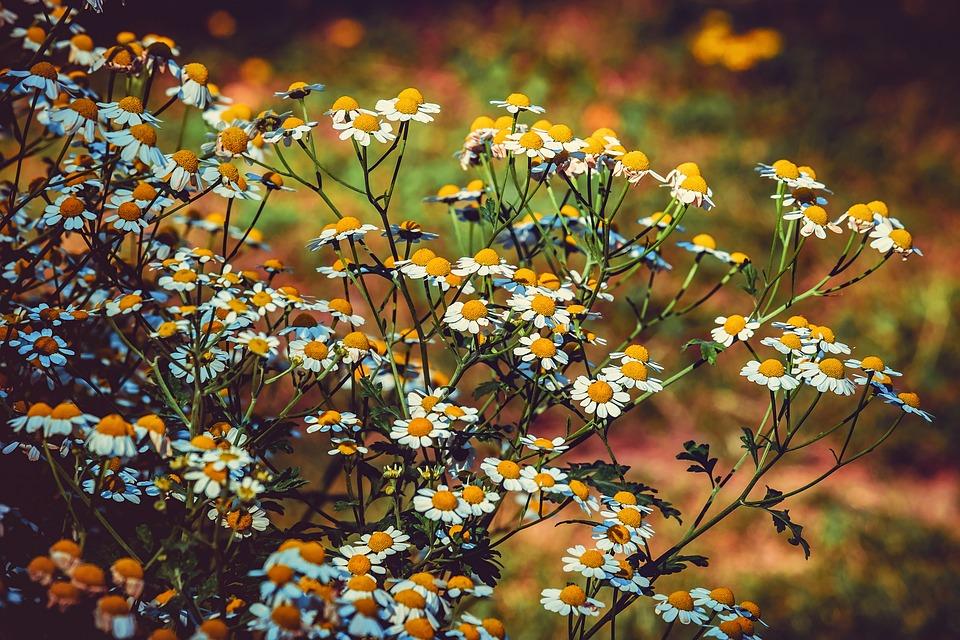 La Grande Camomille, Fleur, Blanc, Jaune