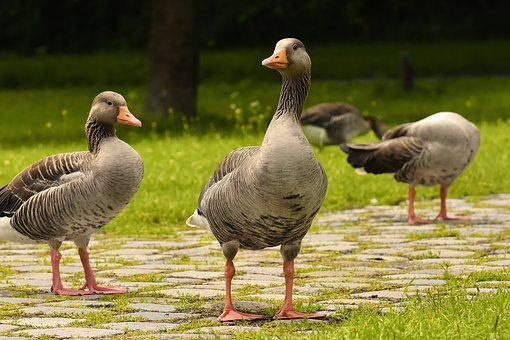 wild geese images pixabay download free pictures