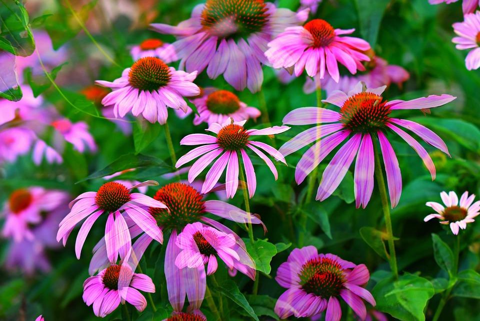 Echinacea Cappello Sole Fiore - Foto gratis su Pixabay 090c94cff515