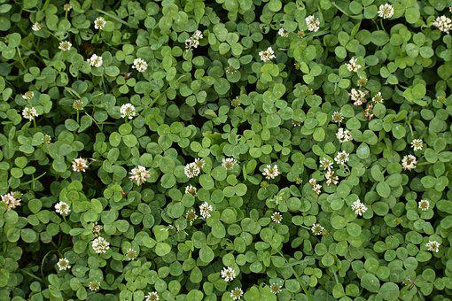 clover images pixabay download free pictures