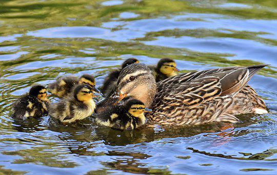 Mallard, Ducklings, Duck, Chicks, Cute