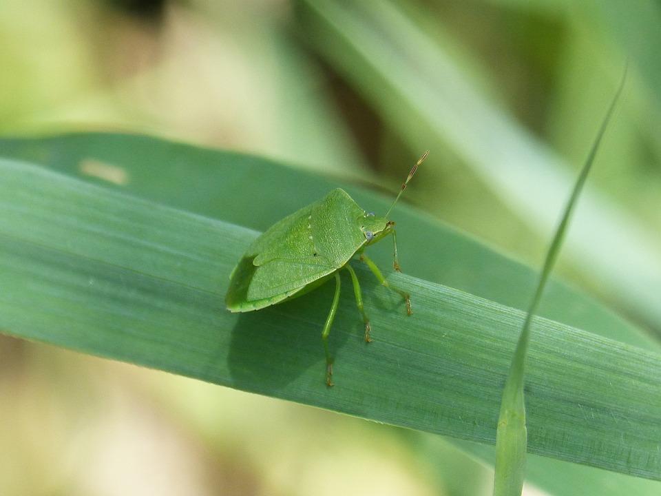 Bed Bug Stinky Southern Green Free Photo On Pixabay