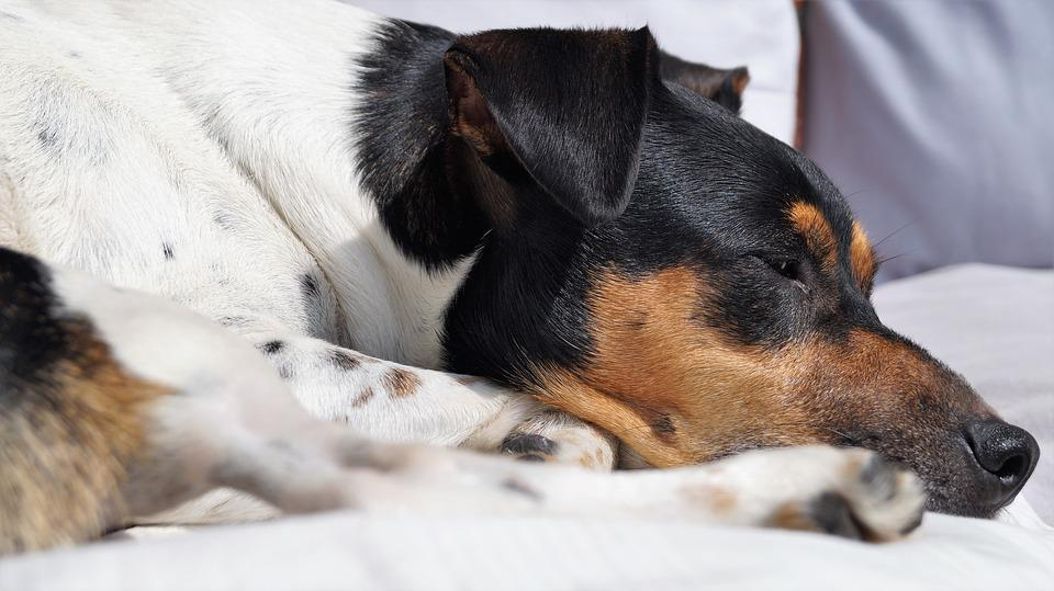 犬, 犬の場所, ペット, Kalli, 満足, かわいい, 動物の肖像画, 動物の保護犬, 寝る場所, 白