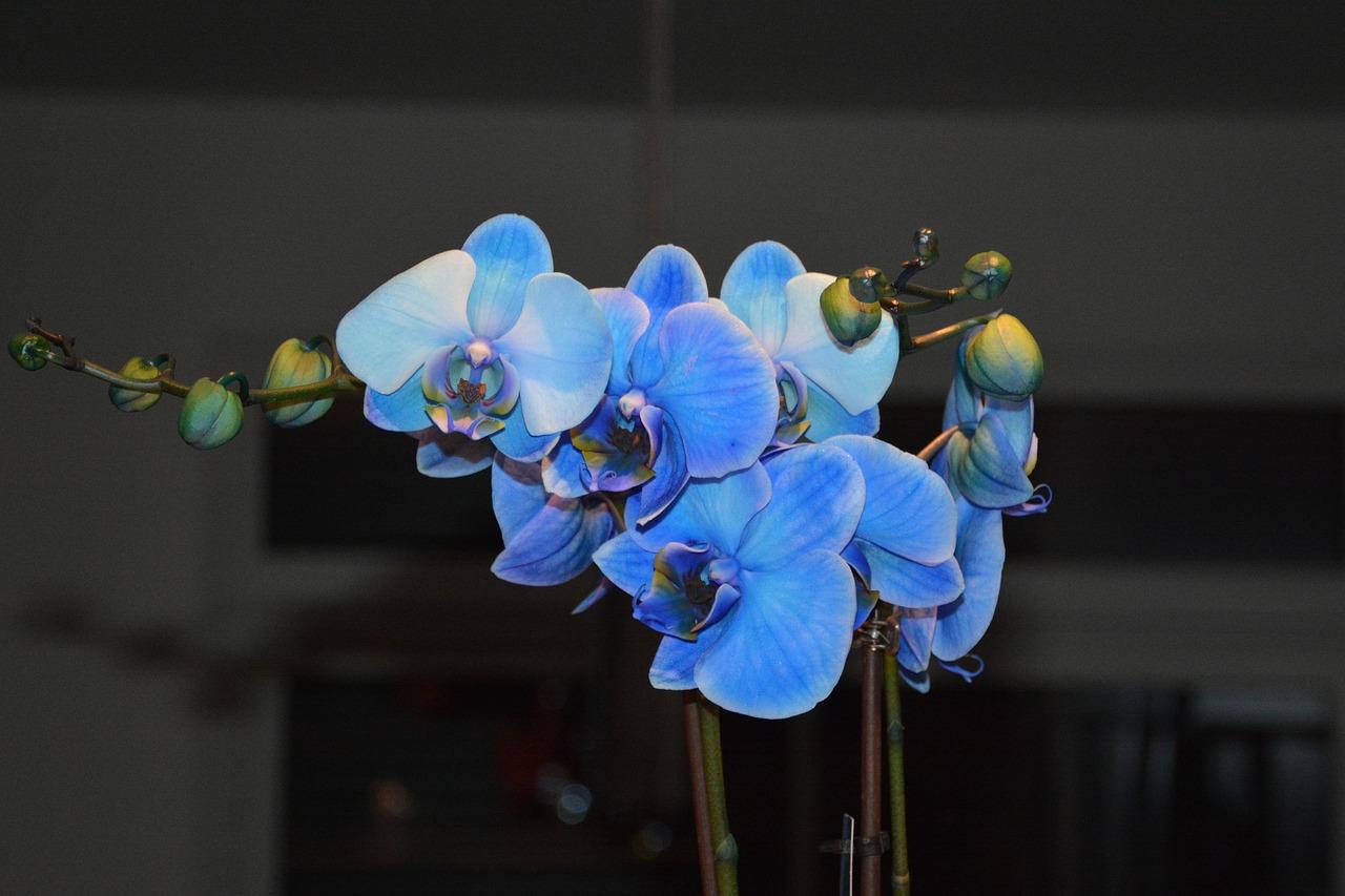 есть голубая орхидея фото цветок рабочего стола