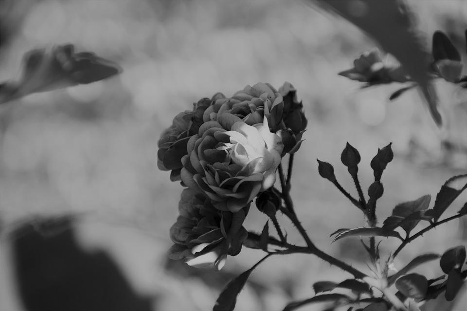 Bunga Hitam Dan Putih Alam Foto Gratis Di Pixabay