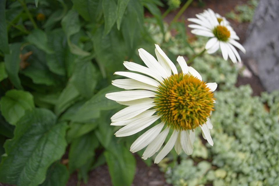 Fleur Marguerite Nature Photo Gratuite Sur Pixabay