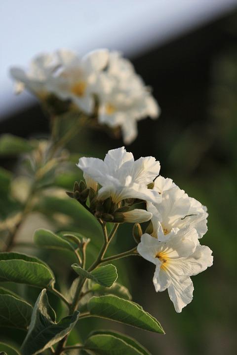 71+ Gambar Bunga Zaitun Terbaik