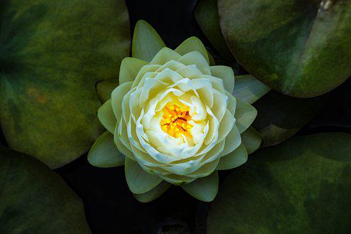 White lotus flower images pixabay download free pictures nature bella water lilies beauty mightylinksfo