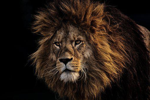 Nature Lion Big Cats Fury Angry Portrait Monochrome: Lion Images · Pixabay · Download Free Pictures