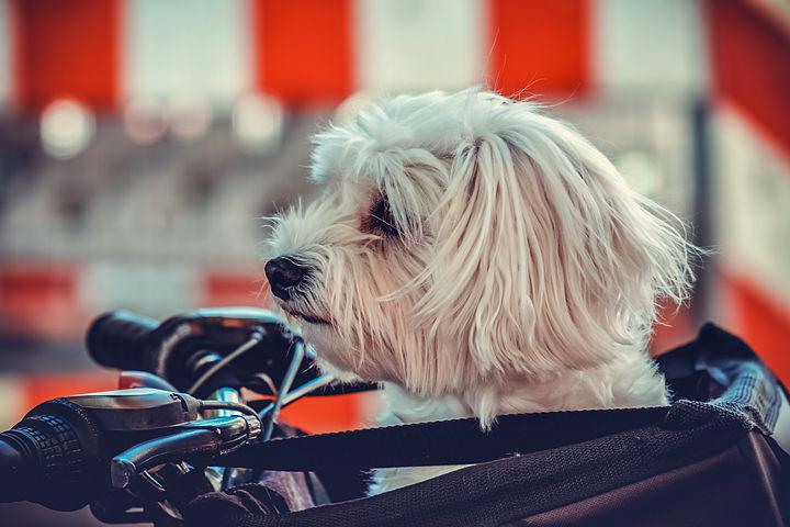Hond, Maltees, Dierlijke, Witte