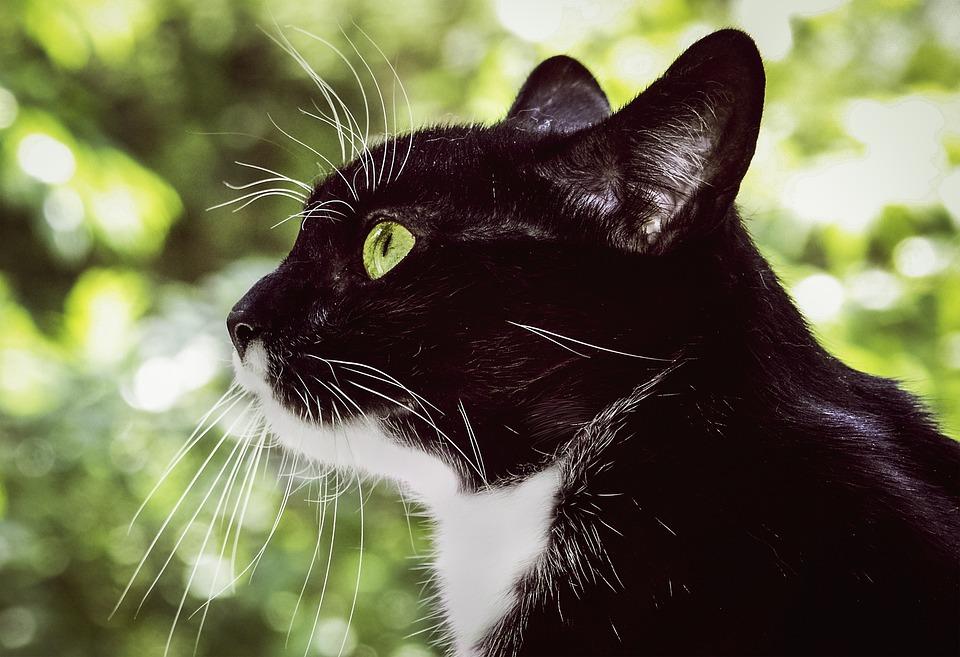 Kater, Katze, Schwarzweiß, Haustier, Seitenansicht